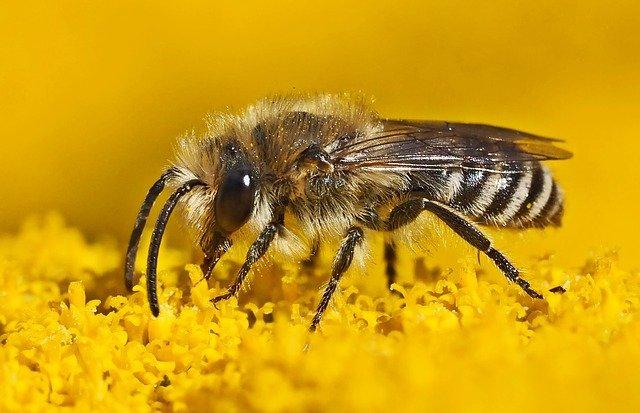 seidenbiene, colletes, abeilles sauvages